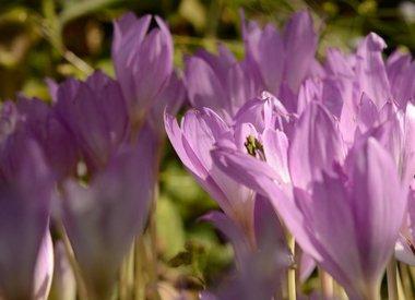 COLCHICUM - Meadow saffron