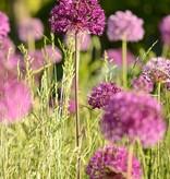 Ornamental onion Allium 'Purple Sensation', ECO (Dutch garlic)