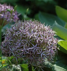 Ornamental onion Allium christophii, ECO