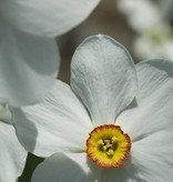 Daffodil (Old pheasant's eye) Narcissus poeticus var. recurvus, ECO (Old pheasant's eye) - Stinzenplant