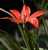 Tulip (Wild) Tulipa linifolia, ECO (Flax-leaved tulip)