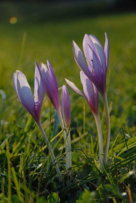 Meadow saffron Colchicum autumnale (Meadow saffron)