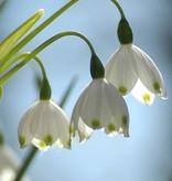 Snowflake (Summer) Leucojum aestivum, ECO (Summer snowflake) - Stinzenplant