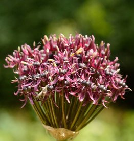 Ornamental onion Allium atropurpureum