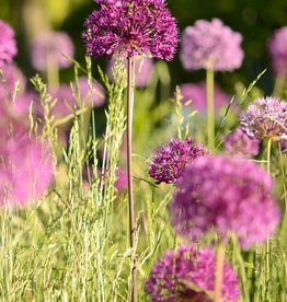 Ornamental onion Allium 'Purple Sensation'