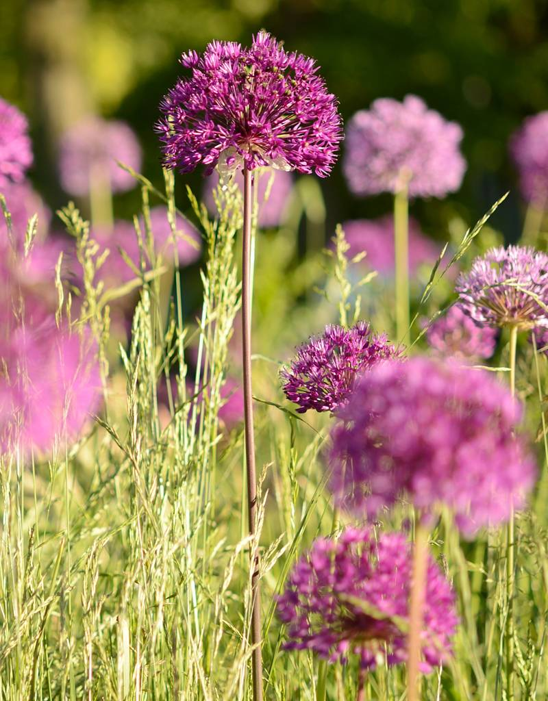 Ornamental onion Allium 'Purple Sensation' (Dutch garlic)