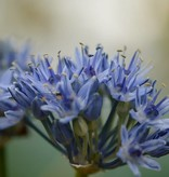 Onion Allium caeruleum (Blue-flowered garlic)
