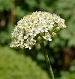 Onion Allium nigrum (Black garlic)