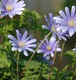 Anemone (Blue) Anemone apennina 'Petrovac' (Blue anemone) - Stinzenplant