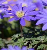 Anemone (Winter windflower) Anemone blanda 'Blue Shades' (Winter windflower)