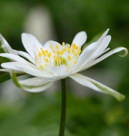 Anemone (Wood) Anemone nemorosa 'Bracteata'