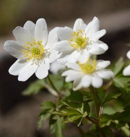 Anemone (Wood) Anemone nemorosa 'Hilda'