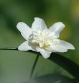 Anemone (Wood) Anemone nemorosa 'Vestal' (Double wood anemone) - Stinzenplant