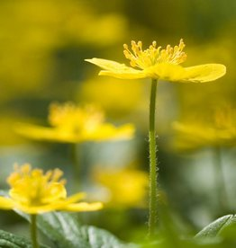 Anemone (Yellow) Anemone ranunculoides