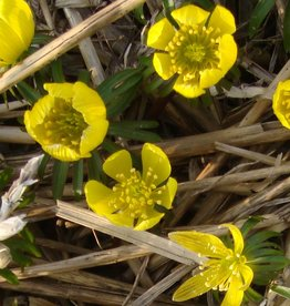 Winter aconite Eranthis cilicica, ECO, bulk