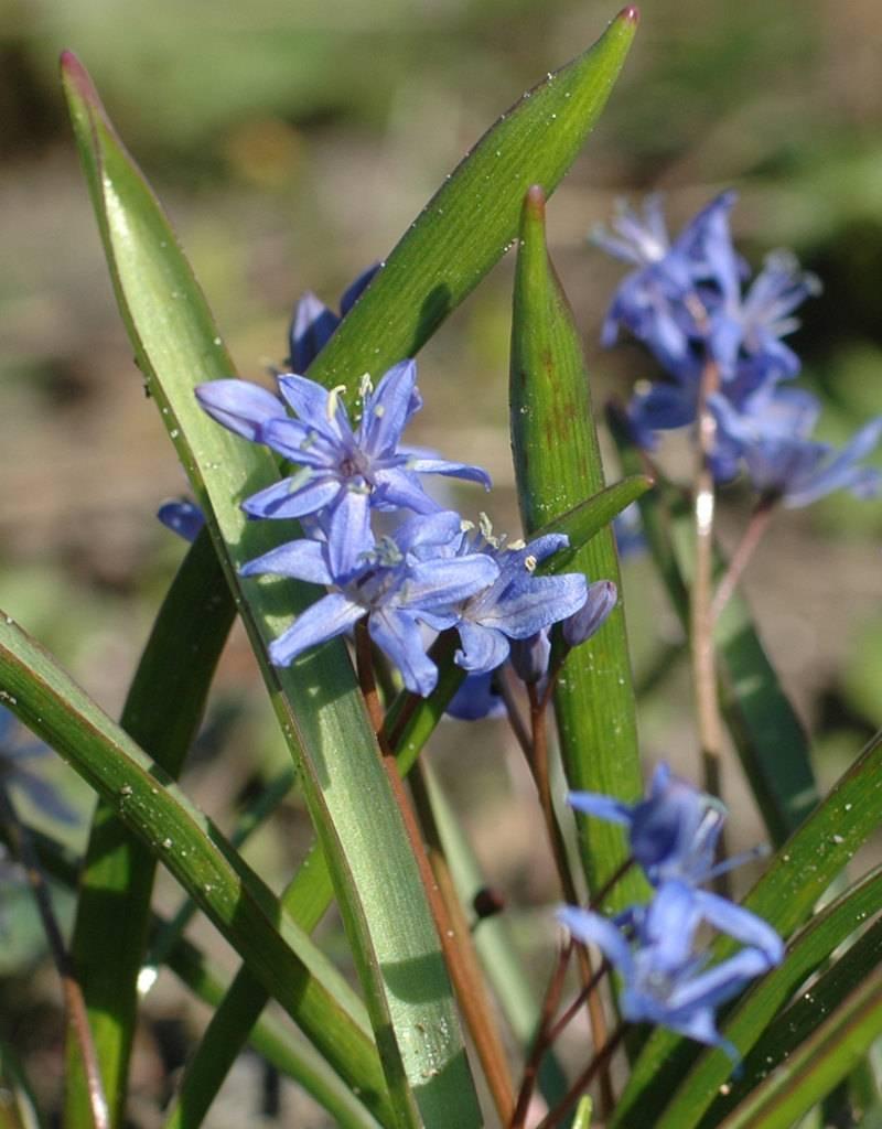 Squill (Alpine) Scilla bifolia, ECO (Alpine squill) - Stinzenplant