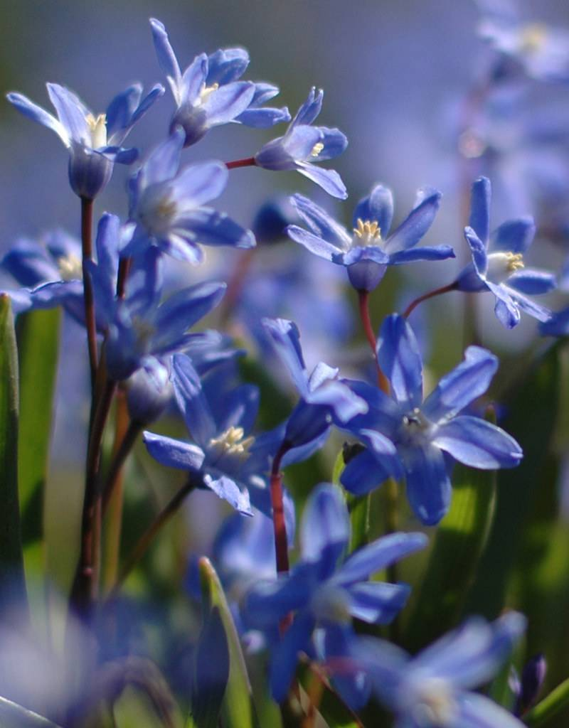 Glory of the snow Chionodoxa sardensis (Lesser glory of the snow) - Stinzenplant