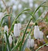 Snowdrop (Cultivar) Galanthus nivalis 'Maximus'