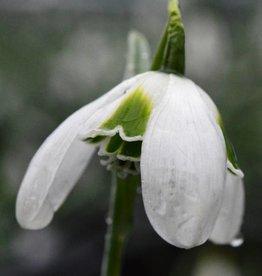 Snowdrop (Cultivar) Galanthus plicatus 'Hippolyta'