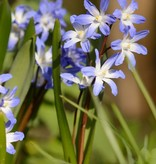 Glory of the snow Chionodoxa forbesii 'Blue Giant' (Glory of the snow)
