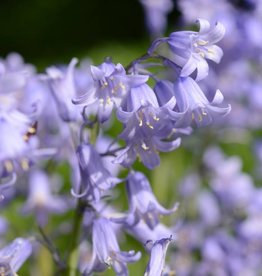 Bluebell (Spanish) Hyacinthoides hispanica, blue