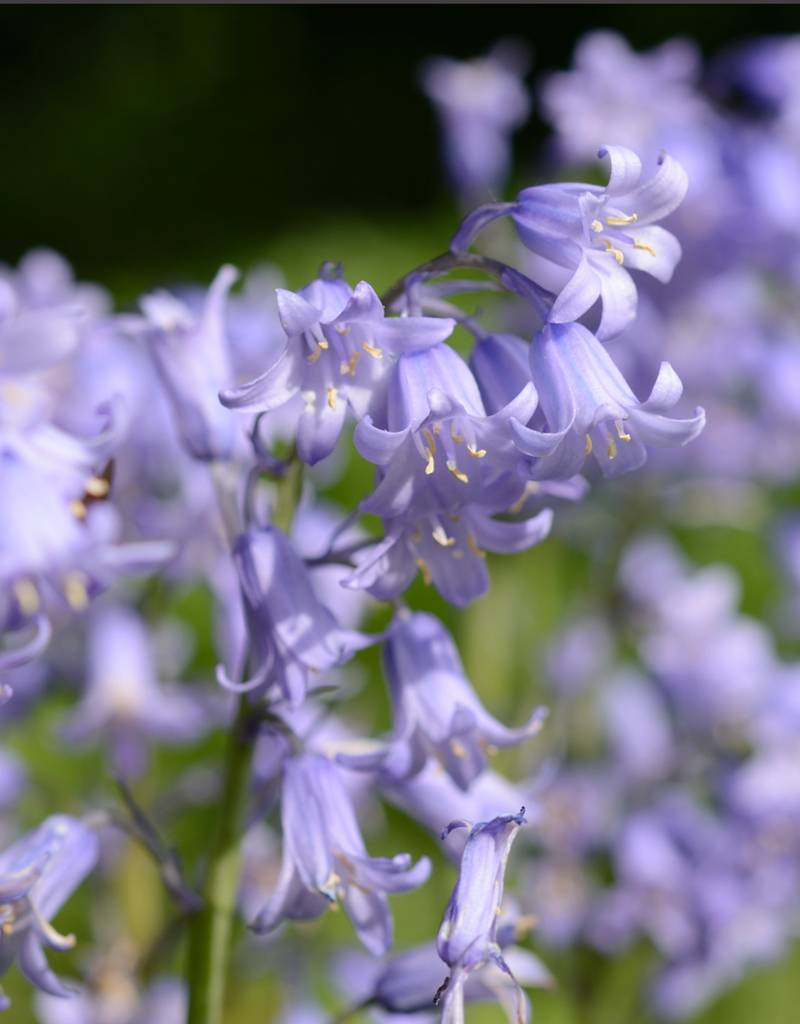 Bluebell (Spanish) Hyacinthoides hispanica blue (Spanish bluebell) - Stinzenplant