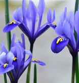 Iris Iris reticulata 'Harmony' (Netted Iris)