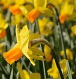Daffodil Narcissus 'Jetfire'
