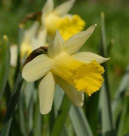 Daffodil Narcissus 'Topolino'