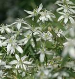 Star of Bethlehem Ornithogalum umbellatum (Star of Bethlehem) - Stinzenplant