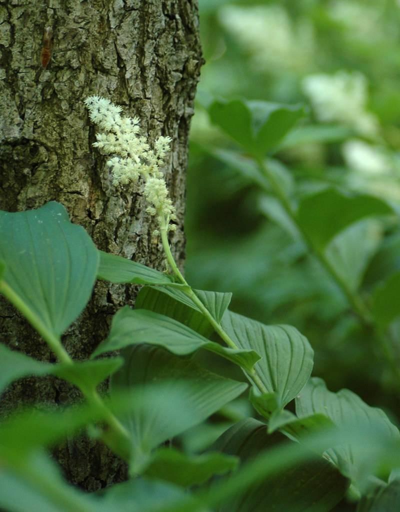False spikenard Smilacina racemosa (False spikenard)