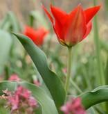 Tulip (Wild) Tulipa eichleri