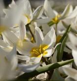 Tulip (Wild) Tulipa polychroma