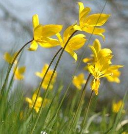 Tulip (Woodland) Tulipa sylvestris