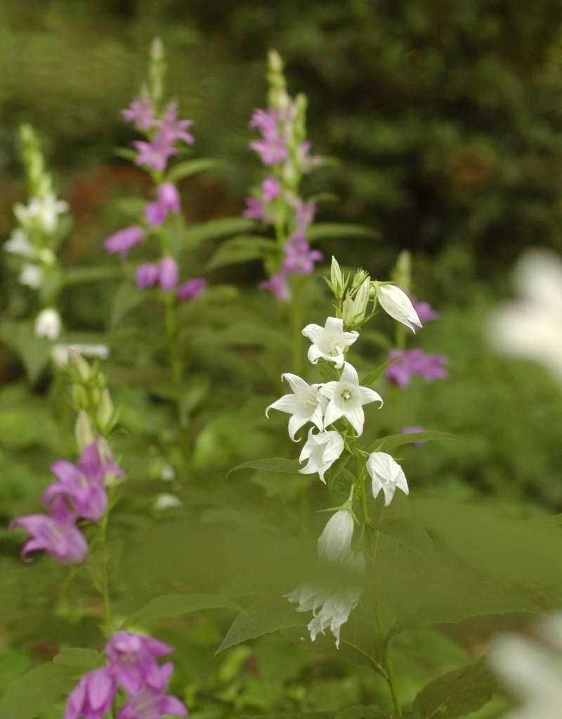 Broad-leaved bellflower Campanula latifolia (Seeds) (Broad-leaved bellflower) - Stinzenplant