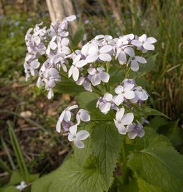 Perennial honesty Lunaria redivia (Seeds)