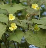 Upright wild ginger Saruma henryi (Seeds) (Upright wild ginger)