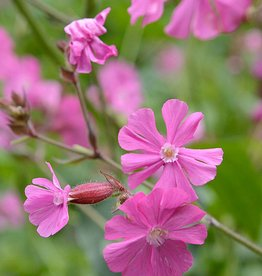 Red campion Silene dioica (Seeds)