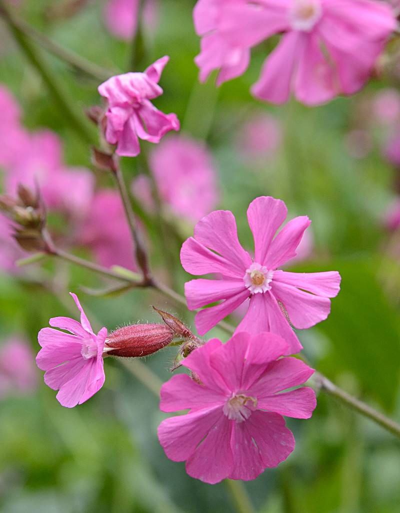 Red campion Silene dioica (Seeds) (Red campion)