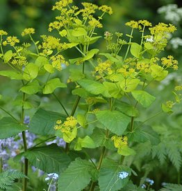 Perfoliate alexanders Smyrnium perfoliatum (Seeds)
