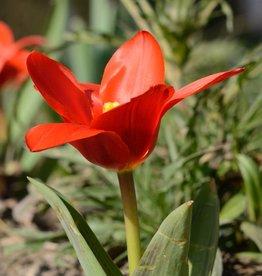 Tulip (Wild) Tulipa kaufmanniana 'Showwinner'