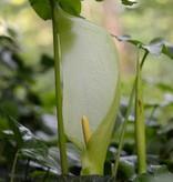 Arum Arum italicum (Italian arum) - Stinzenplant