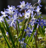 Glory of the snow Chionodoxa forbesii (Glory of the snow)