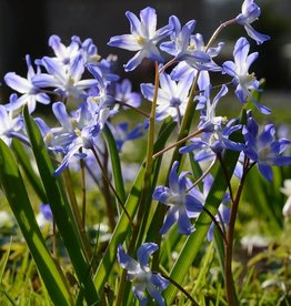 Glory of the snow Chionodoxa forbesii