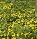 Anemone (Yellow) Anemone ranunculoides (Yellow wood anemone) - Stinzenplant