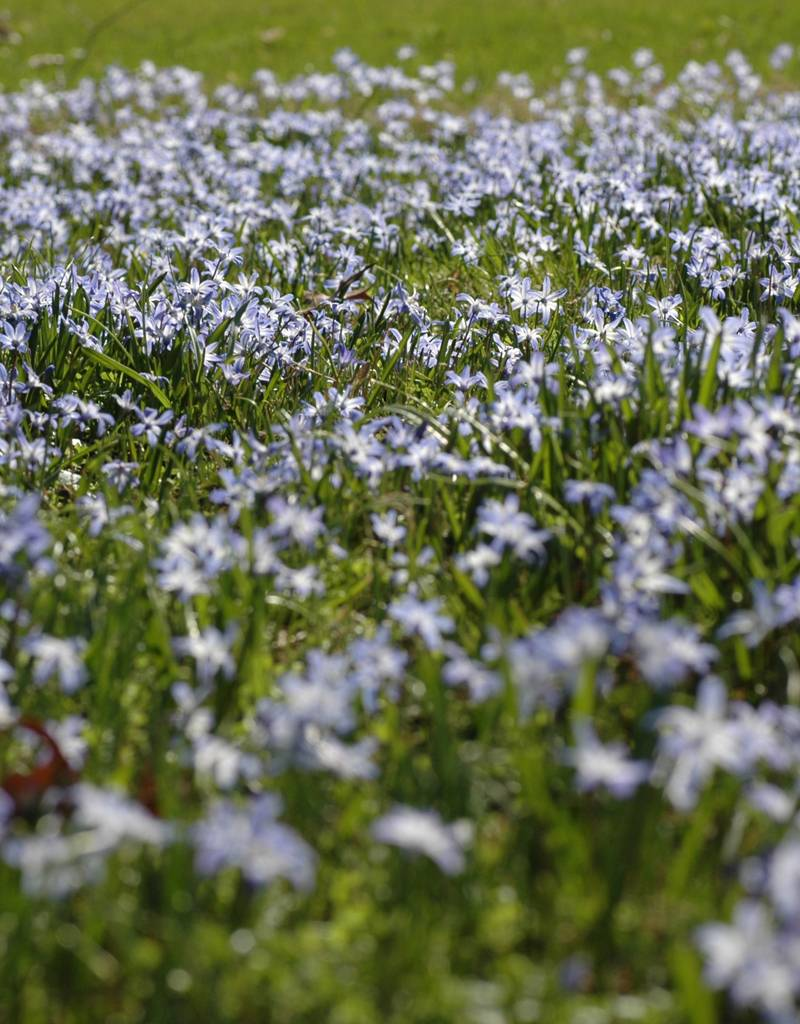 Glory of the snow Chionodoxa luciliae (Glory of the snow) - Stinzenplant