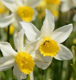 Daffodil Narcissus 'Jack Snipe'