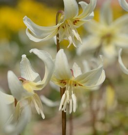 Fawn lily 'White Beauty' Erythronium 'White Beauty'