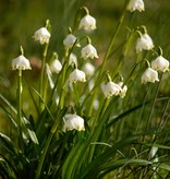 Snowflake (Spring) Leucojum vernum (Spring snowflake) - Stinzenplant