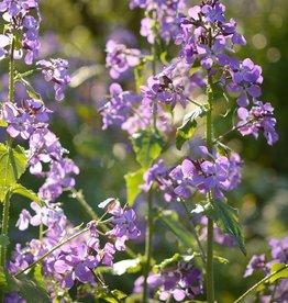 Honesty 'Kastoria' Lunaria annua 'Kastoria' (Seeds)